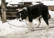 Dog mongrel black and white color on the chain walks near the kennel. Dog mongrel black and white color on the chain walks near the doghouse Royalty Free Stock Images