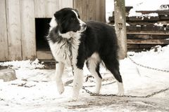 Dog mongrel black and white color on the chain walks near the kennel. Dog mongrel black and white color on the chain walks near the doghouse Stock Photography