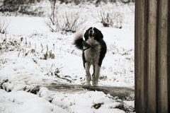 Dog mongrel black and white color on the chain walks near the kennel. Dog mongrel black and white color on the chain walks near the doghouse Stock Photo