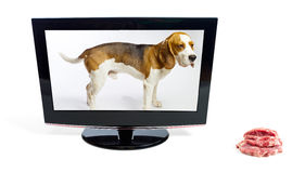 The dog in the monitor looks at a meat. Stock Photos