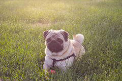 Dog Mops lying on the green grass with red ball. Royalty Free Stock Images
