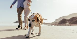 Dog morning walk at beach with owner stock photography
