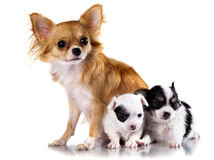 Dog mother and  puppy Stock Photography