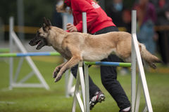 Dog in motion at agility Stock Photography