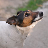 Dog in motion. Closeup of Smooth Fox Terrier in motion Stock Photo
