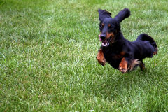 Dog in Motion right. A small dog running on the grass with a slight motion blur royalty free stock photography