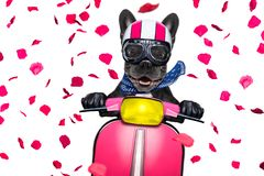 Dog on motorbike. In love for valentines   french bulldog motorbike dog with helmet and goggles ,riding and driving a motorcycle , isolated on white background Stock Photography