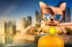 Dog on motorbike with travel background. Funny adorable dog sitting on a motorbike and wearing sunglasses with travel background. Holiday and vacation concept Stock Image