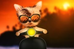 Dog on motorbike with travel background. Funny adorable dog sitting on a motorbike and wearing sunglasses with travel background. Holiday and vacation concept Royalty Free Stock Image