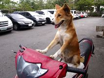 A dog on a motorcycle Royalty Free Stock Image