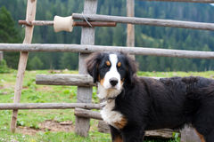 Dog in mountain Stock Images