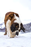 Dog mountain. The St. Bernard big Dog is a loyal friend and a great help in the snow Royalty Free Stock Images