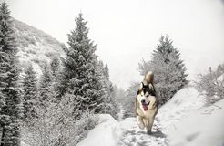 Dog in the mountain forest. Dog Malamute walk in a mountain forest in winter stock images