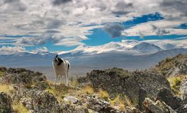 Dog on the mountain pass Stock Photography
