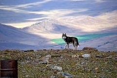 Dog on a mountain pass. Siberian husky in the background of the Kurai steppe, which lies 1000 meters below the pass the Teacher in Altai mountains. The play of Stock Photo