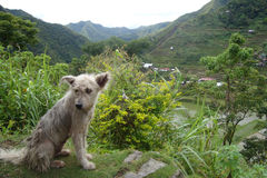 Dog. Mountain and rice farm in the Philippines stock photo