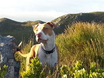 Dog. In mountain south Africa Royalty Free Stock Photos