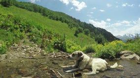 Dog on Mountain stream stock video footage