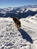 Dog on a mountain top. Bumped into it whilst skiing Stock Images