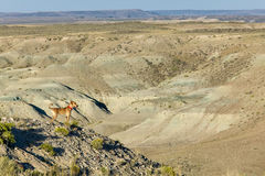 Dog on mountain in vast desert landscape scene. A dog stands on a tall arid mountain with a vast, panoramic view of a desert landscape in southwest Wyoming Stock Image
