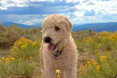 Dog in the mountains. Wheaten terrier dog in the mountains Royalty Free Stock Photo