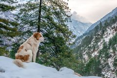Dog in Mountains - Majestic winter landscape in himalayas royalty free stock images