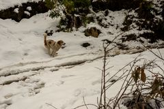 Dog in Mountains - Majestic winter landscape in himalayas royalty free stock photo