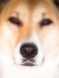 Dog mouth and nose (71). Dog mouth and nose, detail, selective focus on the mouth Royalty Free Stock Photo