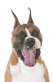 Dog with mouth open Royalty Free Stock Photos