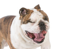 Dog with mouth open yawning Royalty Free Stock Images