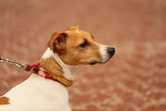 Jack Russell Terrier on a walk. Macro of the head. A dog from the movie Mask is walking in a park stock images
