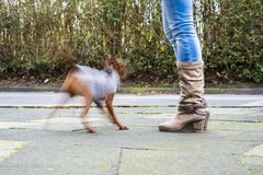 Dog moving fast around boots of mistress. Dog moving very fast around boots of mistress royalty free stock photography