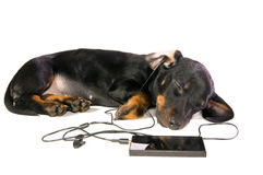 Dog with a mp3 player. The black dog dachshund lays and listens to music through mp3  player Stock Photography