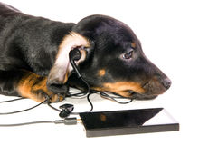Dog with a mp3 player. The black dog dachshund lays and listens to music through mp3  player closeup Stock Photo