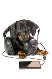 Dog with a mp3 player and Headphones. The black dog dachshund lays and listens to music through mp3  player Stock Images