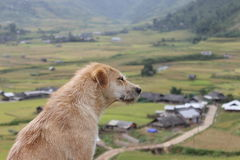 A dog in Mu Cang Chai Rice Terrace Fields. Mu Cang Chai is a district of Yen Bai province, Viet Nam. The rice terrace fields in La Pan Tan, Che Cu Nha and Ze Xu Stock Images