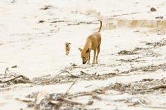 Dog-mummy training the offspring. Sri Lanka Stock Photography
