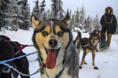 Dog mushing i Fairbanks, Alaska, USA Arkivfoton