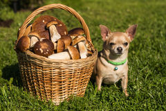 The dog and the mushrooms Stock Images