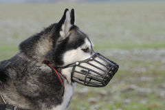 Dog with muzzle Stock Photo