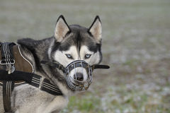 Dog with muzzle Stock Images