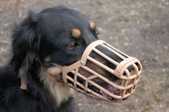 Dog in Muzzle. Dog wearing a muzzle, looking towards the bottom right corner of the image Stock Photo