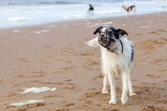 Dog with a muzzle at the beach Royalty Free Stock Image