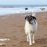 Dog with a muzzle at the beach Stock Images