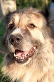 Dog muzzle. Caucasian shepherd closeup Royalty Free Stock Photo