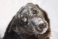 Dog muzzle covered with snow. Royalty Free Stock Photo