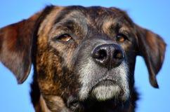 Dog muzzle Royalty Free Stock Image