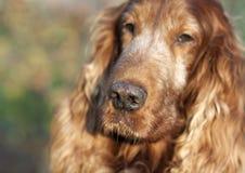 Dog muzzle Royalty Free Stock Photography