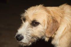 The dog muzzle. The red dog looks sad eyes Stock Photography