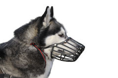 Dog with muzzle Stock Photos